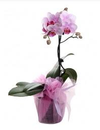 1 dal pembe orkide saksı çiçeği  Batman kaliteli taze ve ucuz çiçekler