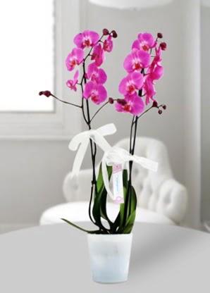 Çift dallı mor orkide  Batman çiçekçiler