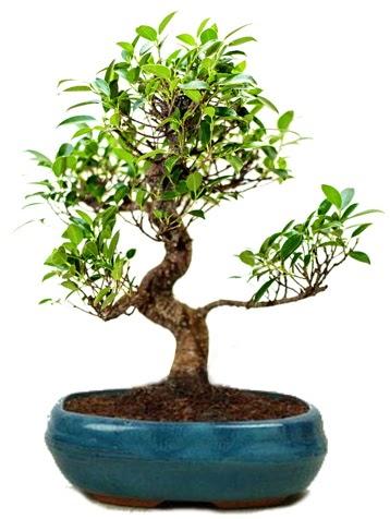 25 cm ile 30 cm aralığında Ficus S bonsai  Batman çiçek gönderme sitemiz güvenlidir