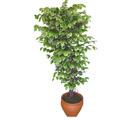 Ficus özel Starlight 1,75 cm   Batman cicek , cicekci