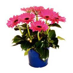 vazo içerisinde gerbera çiçekleri   Batman online çiçek gönderme sipariş