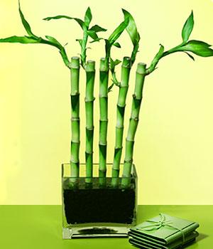 Batman anneler günü çiçek yolla  Good Harmony Lucky Bamboo camda