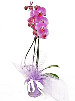 Batman anneler günü çiçek yolla  Kaliteli ithal saksida orkide