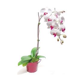Batman çiçek gönderme  Saksida orkide