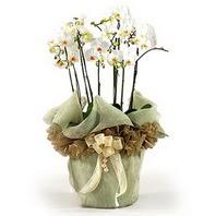 Batman çiçek siparişi sitesi  3 dal orkide , saksi çiçegi , 3 kök orkide