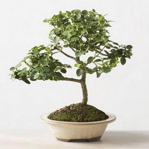 ithal bonsai saksi çiçegi  Batman çiçek online çiçek siparişi