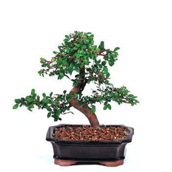 ithal bonsai saksi çiçegi  Batman çiçek siparişi vermek