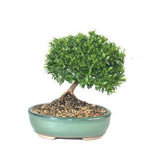 ithal bonsai saksi çiçegi  Batman cicekciler , cicek siparisi