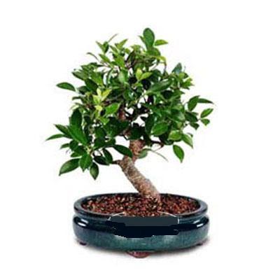 ithal bonsai saksi çiçegi  Batman çiçek siparişi sitesi