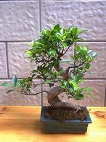 ithal bonsai saksi çiçegi  Batman hediye sevgilime hediye çiçek