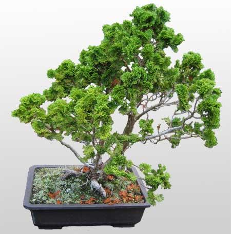 ithal bonsai saksi çiçegi  Batman İnternetten çiçek siparişi