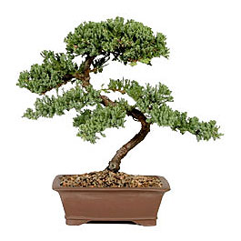 ithal bonsai saksi çiçegi  Batman çiçek gönderme sitemiz güvenlidir