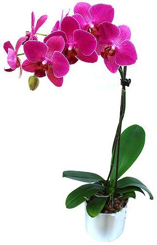 Batman çiçekçi mağazası  saksi orkide çiçegi