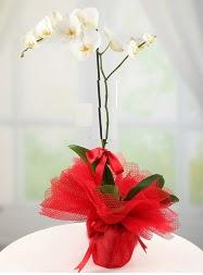 1 dal beyaz orkide saksı çiçeği  Batman yurtiçi ve yurtdışı çiçek siparişi