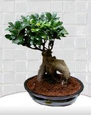 saksı çiçeği japon ağacı bonsai  Batman kaliteli taze ve ucuz çiçekler