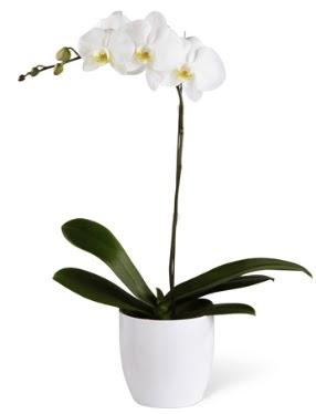 1 dallı beyaz orkide  Batman 14 şubat sevgililer günü çiçek