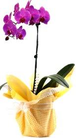 Batman çiçek siparişi sitesi  Tek dal mor orkide saksı çiçeği