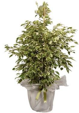 Orta boy alaca benjamin bitkisi  Batman internetten çiçek satışı