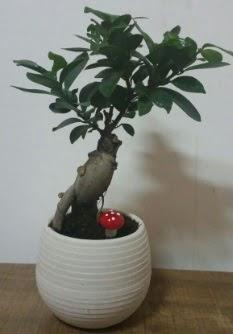 Bonsai japon ağacı saksı çiçeği  Batman çiçek gönderme sitemiz güvenlidir