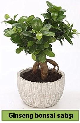 Ginseng bonsai japon ağacı satışı  Batman çiçekçi telefonları