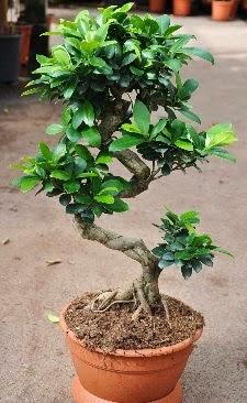 Orta boy bonsai saksı bitkisi  Batman internetten çiçek siparişi