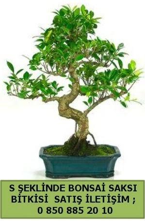 İthal S şeklinde dal eğriliği bonsai satışı  Batman çiçek gönderme