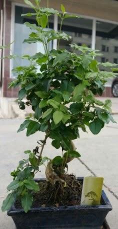 Bonsai japon ağacı saksı bitkisi  Batman çiçek siparişi vermek
