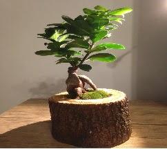 Doğal kütükte Bonsai japon ağacı satışı  Batman internetten çiçek satışı