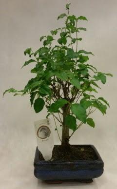 Minyatür bonsai japon ağacı satışı  Batman çiçekçi telefonları