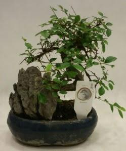 İthal 1.ci kalite bonsai japon ağacı  Batman çiçek satışı