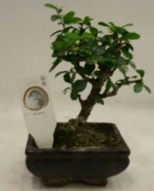 Küçük minyatür bonsai japon ağacı  Batman çiçek gönderme