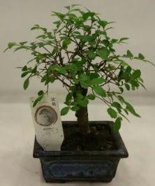 Minyatür ithal japon ağacı bonsai bitkisi  Batman çiçek satışı