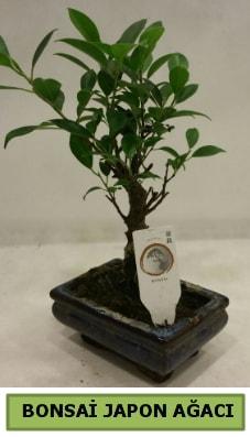 Bonsai japon ağacı saksı bitkisi  Batman çiçek servisi , çiçekçi adresleri
