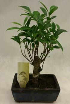 Japon ağacı bonsai bitkisi satışı  Batman çiçekçi telefonları