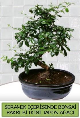 Seramik vazoda bonsai japon ağacı bitkisi  Batman çiçek siparişi sitesi