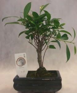 Bonsai japon ağacı bitkisi satışı  Batman çiçek gönderme sitemiz güvenlidir