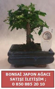 Japon ağacı minyaür bonsai satışı  Batman çiçek satışı