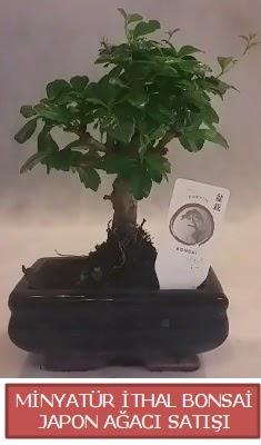 Küçük görsel bonsai japon ağacı bitkisi  Batman çiçek , çiçekçi , çiçekçilik
