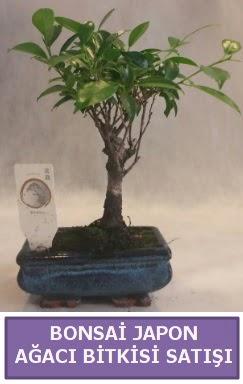 İthal Bonsai japon ağacı bitkisi satışı  Batman İnternetten çiçek siparişi