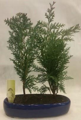 SINIRLI SAYIDA Selvi Ağacı bonsai ikili  Batman çiçekçi telefonları