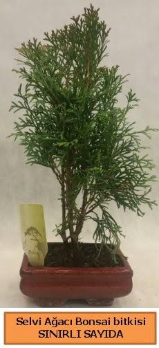 Selvi ağacı bonsai japon ağacı bitkisi  Batman çiçek satışı