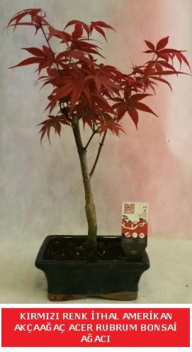 İTHAL ACER RUBRUM BONSAİ AĞACI  Batman çiçek gönderme sitemiz güvenlidir