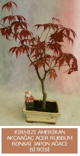 Amerikan akçaağaç Acer Rubrum bonsai  Batman uluslararası çiçek gönderme
