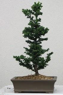 Çam ağacı bonsai bitkisi satışı  Batman çiçekçi telefonları