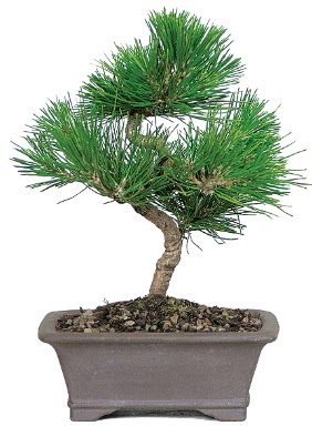 Çam ağacı bonsai japon ağacı bitkisi  Batman çiçek gönderme