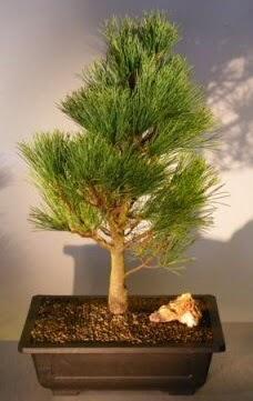 Çam ağacı japon ağacı bitkisi bonsai  Batman çiçekçi telefonları