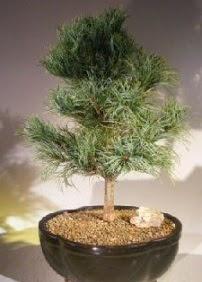 Çam ağacı bonsai bitkisi satışı  Batman ucuz çiçek gönder