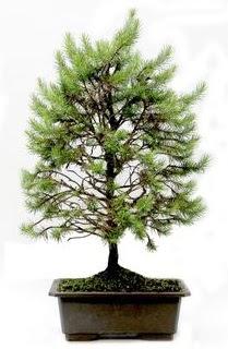 *** STOKTA YOK - Çam ağacı bonsai bitkisi satışı  Batman cicekciler , cicek siparisi