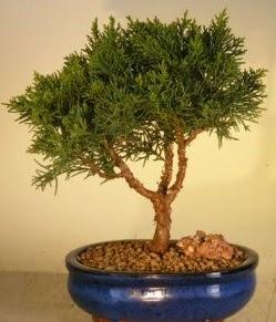 Servi çam bonsai japon ağacı bitkisi  Batman çiçek yolla