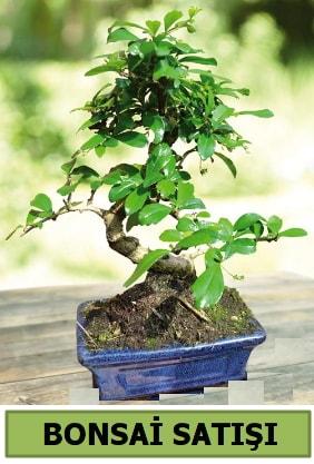 Çam bonsai japon ağacı satışı  Batman çiçek satışı